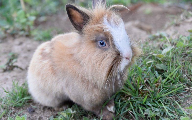 Comment apprivoiser un lapin nain sauvage ?